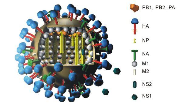 Bildbeschreibung: 3D Modell InfluenzavirusStructure of swine influenza virus showing different type of antigens present on and inside the capsid wikipedia